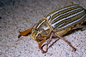 Ten-line June Beetle