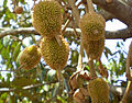Tender fruit's Durian tree.JPG