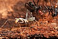 Teneral spider ant (Leptomyrmex) (4364593720).jpg