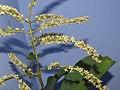 Terminalia elliptica - Indian Laurel flowers at Nedumpoil (33).jpg