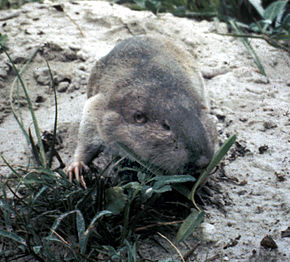 Description de l'image Texas Pocket Gopher.jpg.