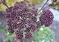 Thalictrum delavayi - Mendocino Coast Botanical Gardens - DSC02267.JPG