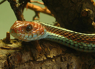 San Francisco garter snake - Image: Thamnophis sirtalis tetrataenia (2005 10 16) uitsnede