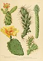 The Cactaceae (Plate XIV) (6026505504).jpg