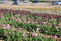 The Flower Fields at Carlsbad Ranch 85 2014-04-28.jpg
