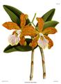 The Orchid Album-01-0080-0026-Cattleya velutina.png