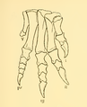 The Osteology of the Reptiles-209 dfg ghj ert.png