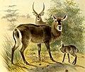 The book of antelopes (1894) (14586201910).jpg