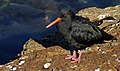 The variable oystercatcher (Haematopus unicolor) (33525118613).jpg