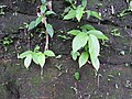 Thottea corymbosa-2-chemmunji-kerala-India.jpg