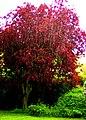Three Horseshoes Purple Leaf Plum Tree (Prunus Cerasifera Nigra) - geograph.org.uk - 1069404.jpg