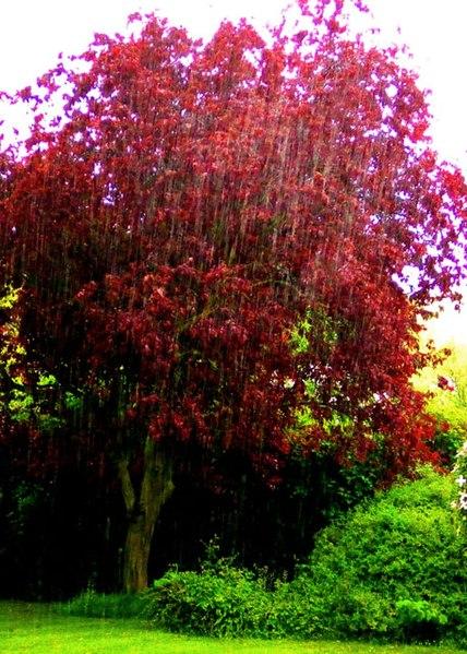 Prunus Cerasifera Purple Leaf Plum File:Three Horseshoes ...