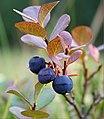 Three ripe blueberries.jpg