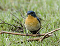 Tickell's Blue Flycatcher, at Nagpur, by Dr. Tejinder Singh Rawal.jpg