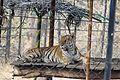Tiger - Vandalur Zoo.jpg