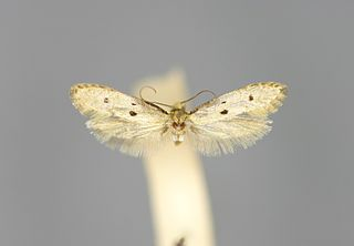 <i>Tinea trinotella</i> Species of moth