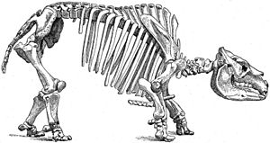 Toxodon - Skeletal diagram