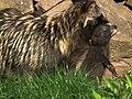 Tragegriff Jungtier Marderhund Pforzheim Wildpark.JPG