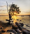 Tree at sunset, Changi, Singapore - 20120626.jpg