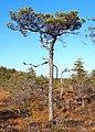 Tree in swamp.jpg