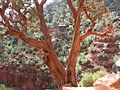 Tree on the Bright Angel Trail, Grand Canyon NP - panoramio.jpg