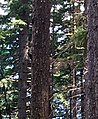 Trees along Pacific Crest Trail in the Columbia River Gorge in Oregon post Eagle Creek Fire 6 14 2018 photo by Ralph Bloemers. (42442527955).jpg