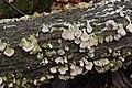 Trichaptum biforme, Gatineau Park (45280894262).jpg