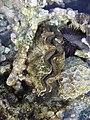 Tridacna squamosa Elp.jpg