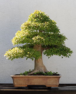 long-term cultivation of small trees in containers, called bonsai in the Japanese tradition of this art form