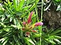 Trifolium alpinum bud.JPG