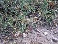 Trifolium andinum podocephalum Currant summit lg.jpg