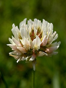 Trifolium repens (inflorescense) Edit.jpg