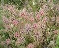 Trifolium stellatum, Livorno.JPG