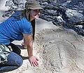 Trilobite in the sand 11 (46064952474).jpg