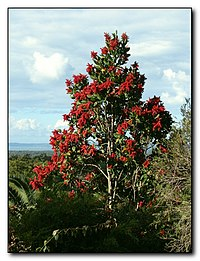 Triplaris weigeltiana Female Tree