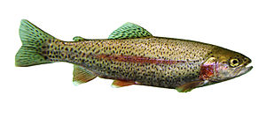 English: Oncorhynchus mykiss (rainbow trout) s...