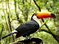 Tucano parque das aves 2015.jpg
