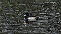 Tufted Duck (Aythya fuligula) - Oslo, Norway 2020-11-08 (01).jpg
