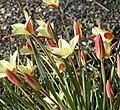 Tulipa clusiana in Jardin des Plantes 02.jpg