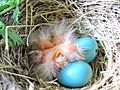 Turdus migratorius -eggs and chicks in a nest-8.jpg