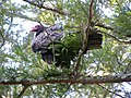 Turkey vulture in redwood tree.jpg