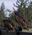 Turkey vultures (01722)a.jpg