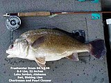 Typical Freshwater Drum Lake Jordan Alabama.jpg