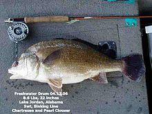 Freshwater drum - WikipediaSaltwater Sheepshead Fish Pictures