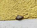 Unidentified-butterfly-20190610-145405.jpg