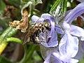 Unidentified Halictidae on Rosmarinus officinalis flowers.jpg