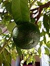 Unripe bitter orange fruit - Κιτρέα η νεραντζέα.jpg