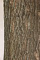 Upright English Oak Quercus robur cv. Fastigiata Bark 2000px.jpg