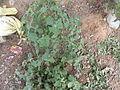 Uttireni plant.JPG