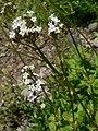 Valeriana sitchensis 21608.JPG